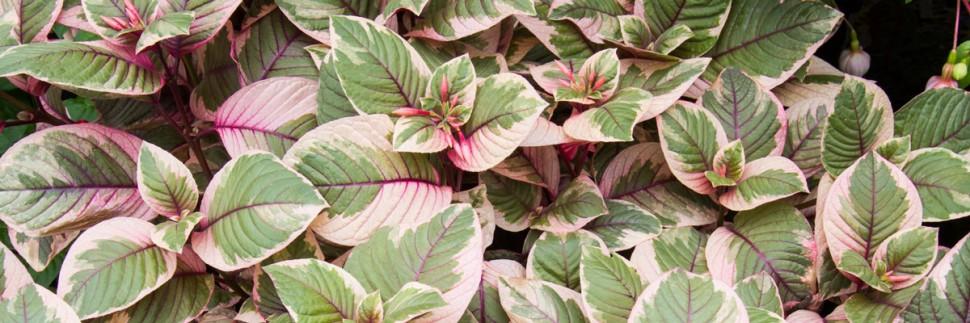 variegated fuchsia