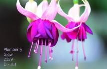 Plumberry Glow