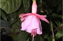 Tanja's Pink Bells