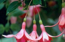 Flor Izel