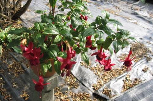 Fiorelli Flowers